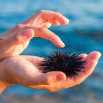 urchin measuring content